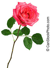 single pink rose on a white background