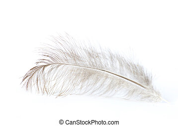 feather on white -  feather isolated on white background