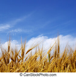 wheat ears  - Wheat ears against the blue  sky