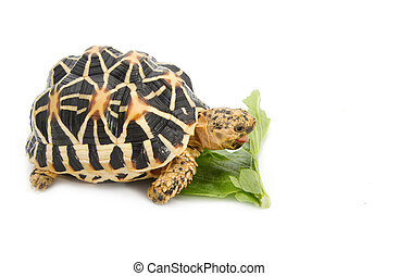 Indian Starred Tortoise eating