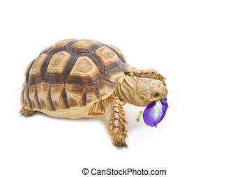 Leopard Tortoise Geochelone pardalis eating flower, on white...