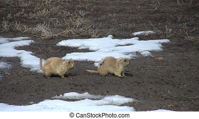 Prairie Dogs in Winter - prairie dogs outside their burrow...