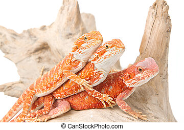 three little bearded dragons on brach  white background