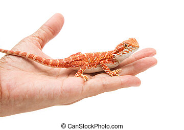 woman hand holding a bearded dragon on white background