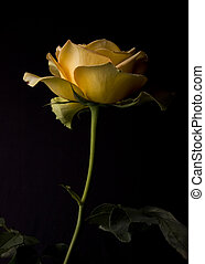 yellow rose - a beautiful yellow rose and black background
