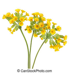 Cowslip Flowers - Cowslip flowers over white background....