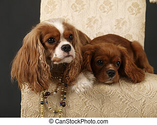 CoCo 3 - Stock photo of two King Charles Cavalier puppies...