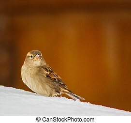 House Sparrow in winter plumage