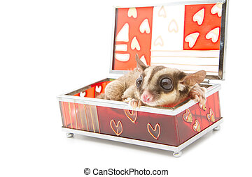 sugar glider in glass box
