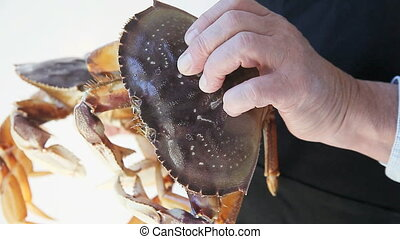 Dungeness crabs - a man holds two fresh, large crabs still...