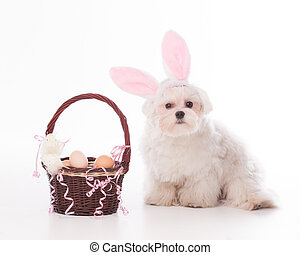 Bunny Maltese - Cute and fluffy Maltese as a bunny and a...