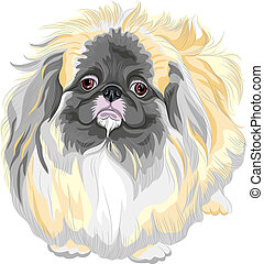 vector pedigreed dog Sable Pekingese breed - color sketch...