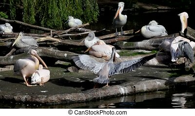 Pelicans and gray herons. Berlin Zoo - Pelicans and gray...