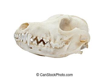狐狸, 紅色, 頭骨