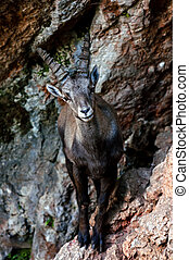 Wild goat on the mountain side