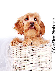 Portrait of a decorative beige dog in a basket. - Decorative...
