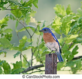 Bluebird - Eastern bluebird perched on a fence post