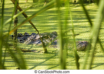 Alligator Lurking Behind Reeds - An American Alligator...