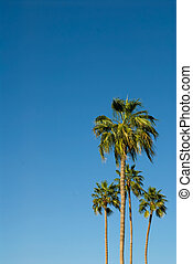 Palm Trees Against a Brilliant Blue Sky - Four palm trees...