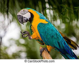 Papagaio, Macaw