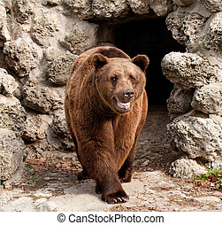 Brown bear (Ursus arctos) front view