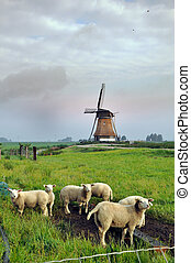 Sheep and mill - Rain cloud in Dutch landscape with a mill...