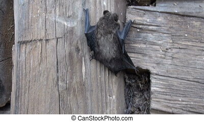 rare bat (Eptesicus nilssonii) - rare bat species (Eptesicus...