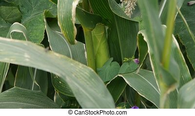 lush corn leaves in agriculture farmland in rural areas.