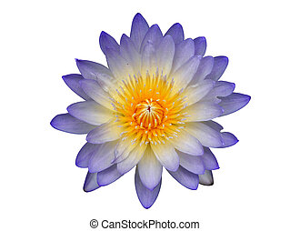 Water lily in white background.