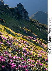 Mountain rhododendron blossoming