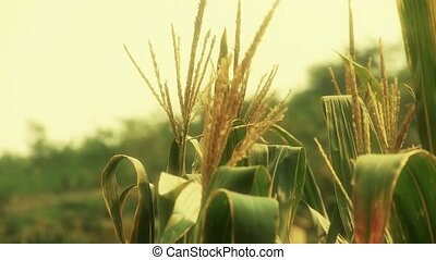lush corn leaves in agriculture farmland in rural areas