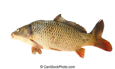 Common carp - Common Carp Isolated on White Background