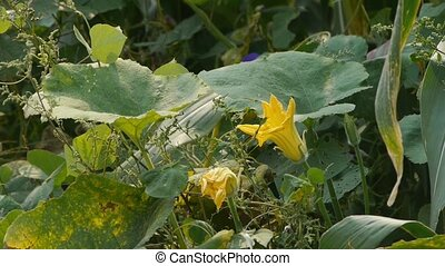 lush corn leaves & loofah flower in agriculture farmland in...