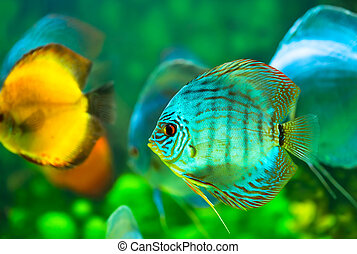 tropical fish - tropical discus fish