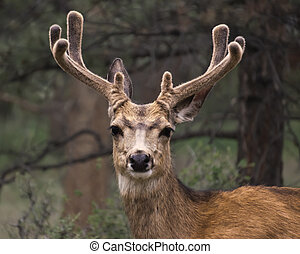 Mule deer with velvet antlers. - Close up face on vew of a...