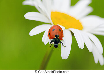 ladybird - The ladybird creeps on a camomile flower