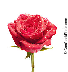 isolated close-up rose with path - Red rose flower isolated...