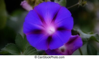 morning glory in lush leavesagriculture farmland at rural