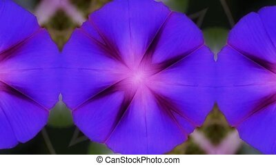 morning glory pattern in lush leavesagriculture farmland at...