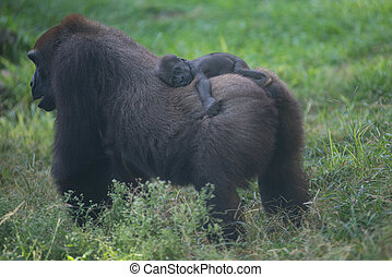 baby gorilla on its mother's back