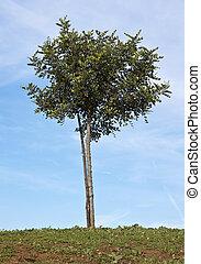 Carob tree - Small Carob tree (Ceratonia siliqua) with stake...