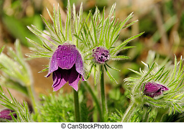 pasque flower 02