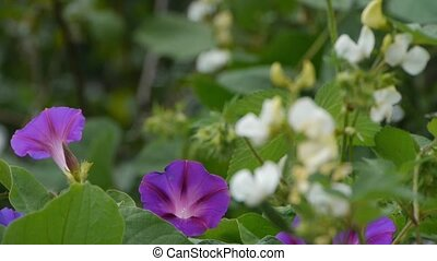 Little white flowers and Morning Glory - Little white...