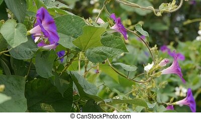 morning glory in lush wild leaves.