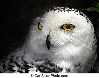 Snow Owl - Close-up picture of a great snow owl bird
