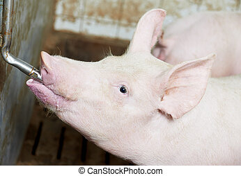 young drinking piglet at pig farm - group of young piglet...