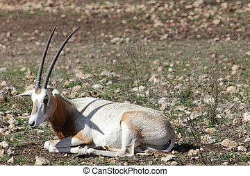 Scimitar Horned Oryx, Oryx dammah laying on the ground