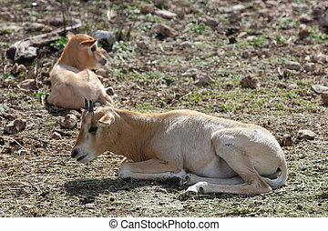 Scimitar Horned Oryx Calves - Scimitar Horned Oryx, Oryx...