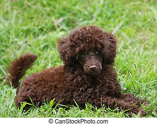 Chocolate Brown Poodle Pup - Cute Chocolate Brown Poodle...