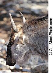 Wildebeest - close up view of a wildebeest ,Connochaetes...